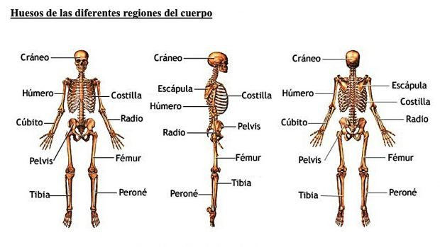 Cuerpo Humano Cuántos Huesos Tiene El Esqueleto Humano