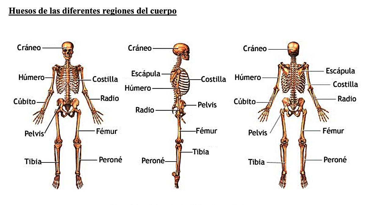 El Cuerpo Humano: ¿Cuántos Huesos Tiene El Cuerpo Humano?