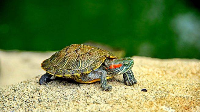 Resultado de imagen de tortugas de agua
