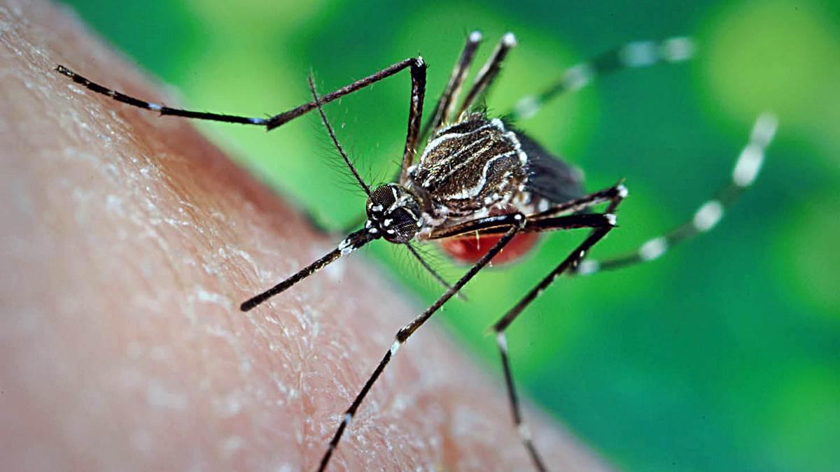 cuanto tiempo vive el mosquito que transmite el dengue