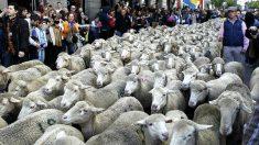 Los rebaños de ovejas por las calles de Madrid revive la tradición de la trashumancia. (Foto: Agencias)