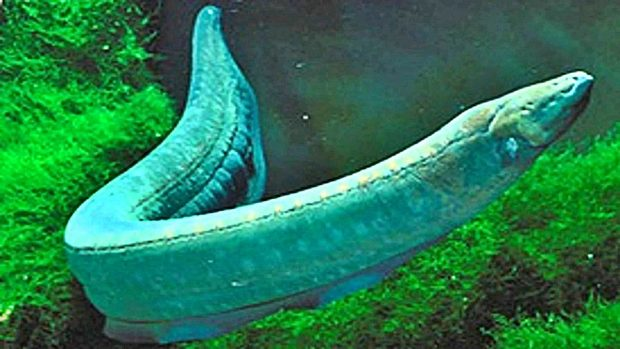 animales amazonas anguila electrica
