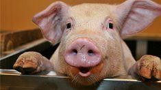 animales mas inteligentes cerdo