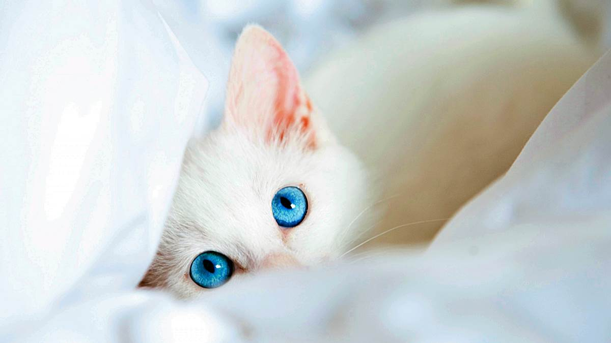 Descubre por qué los gatos blancos de ojos azules suelen ser sordos