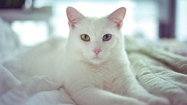 gatos blancos sordera