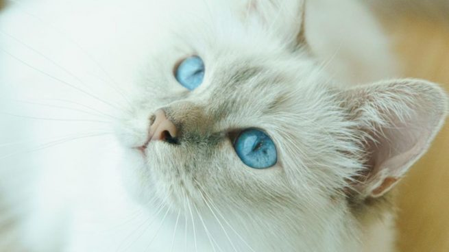 Gatos blancos ojos azules
