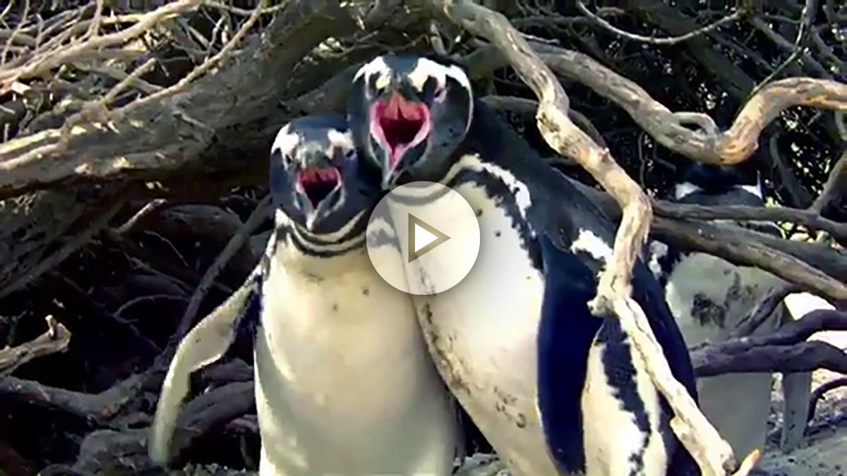 pinguinos-ataque