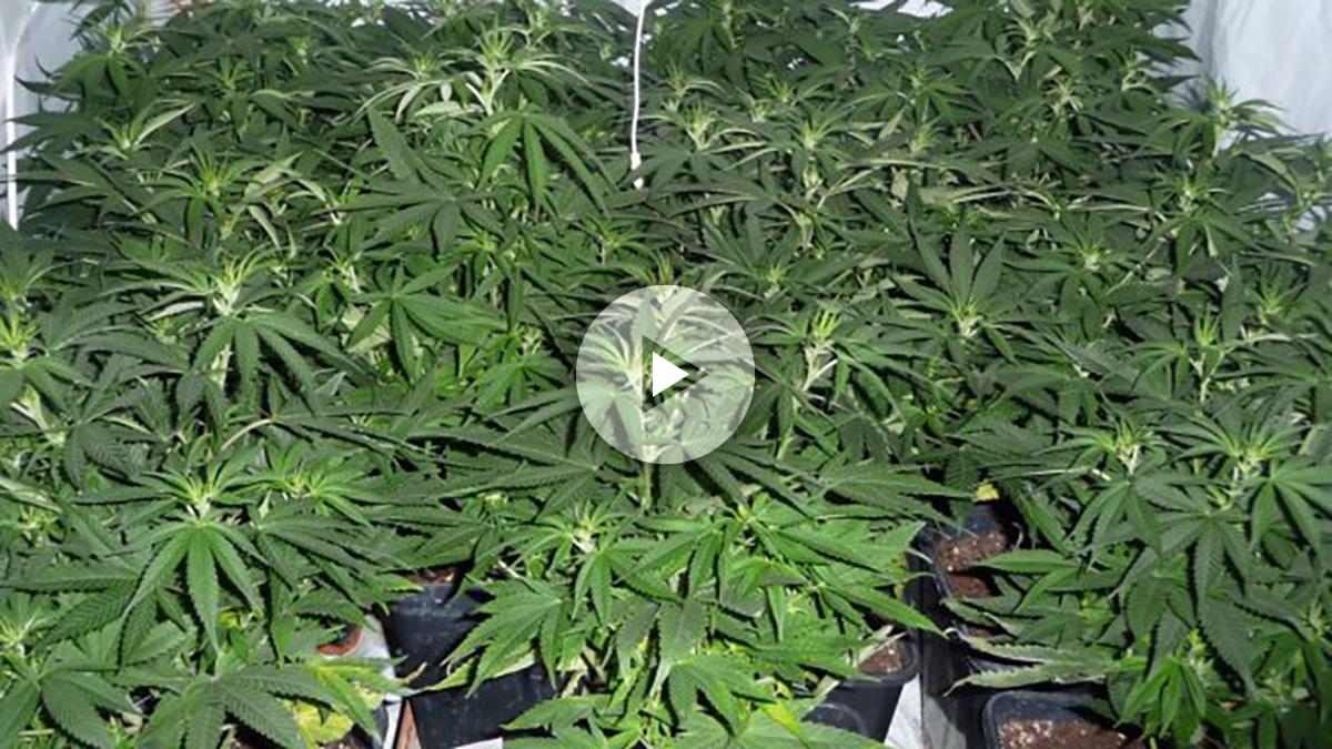 cannabis-e1467734453420-655×368-copia
