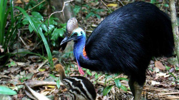 Aves peligrosas: 5 aves que son un peligro para los seres humanos - Casuario