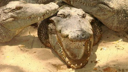 Conoce cuál es el reptil más grande que existe