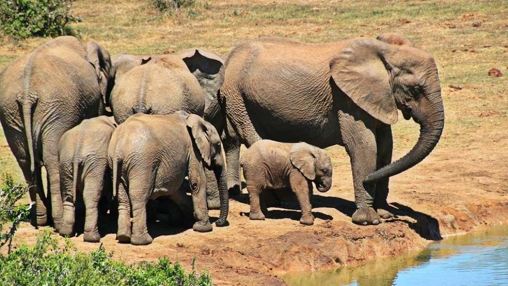 Descubre por qué el mejor café del mundo se saca de excrementos de elefantes