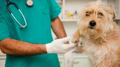 Un veterinario atiende a un perro.