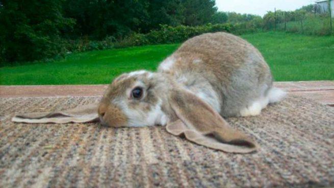 Conejos gigantes: razas, cuánto miden y cuidados