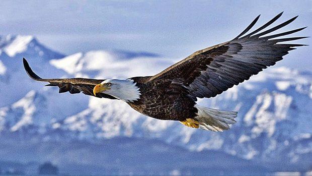 Aves peligrosas: 5 aves que son un peligro para los seres humanos - Águila