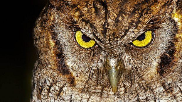 Aves peligrosas: 5 aves que son un peligro para los seres humanos - Búho