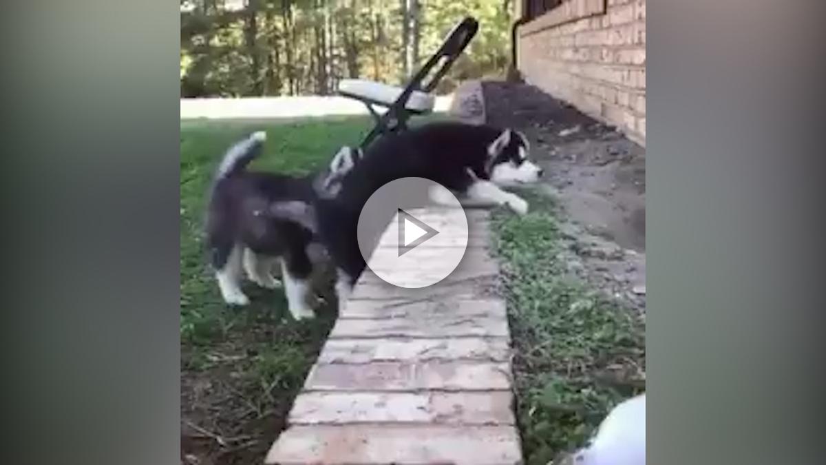 huskys-hermanos