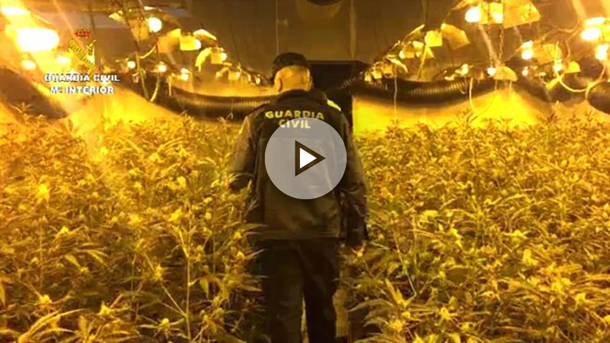 Imagen de plantación de marihuana.