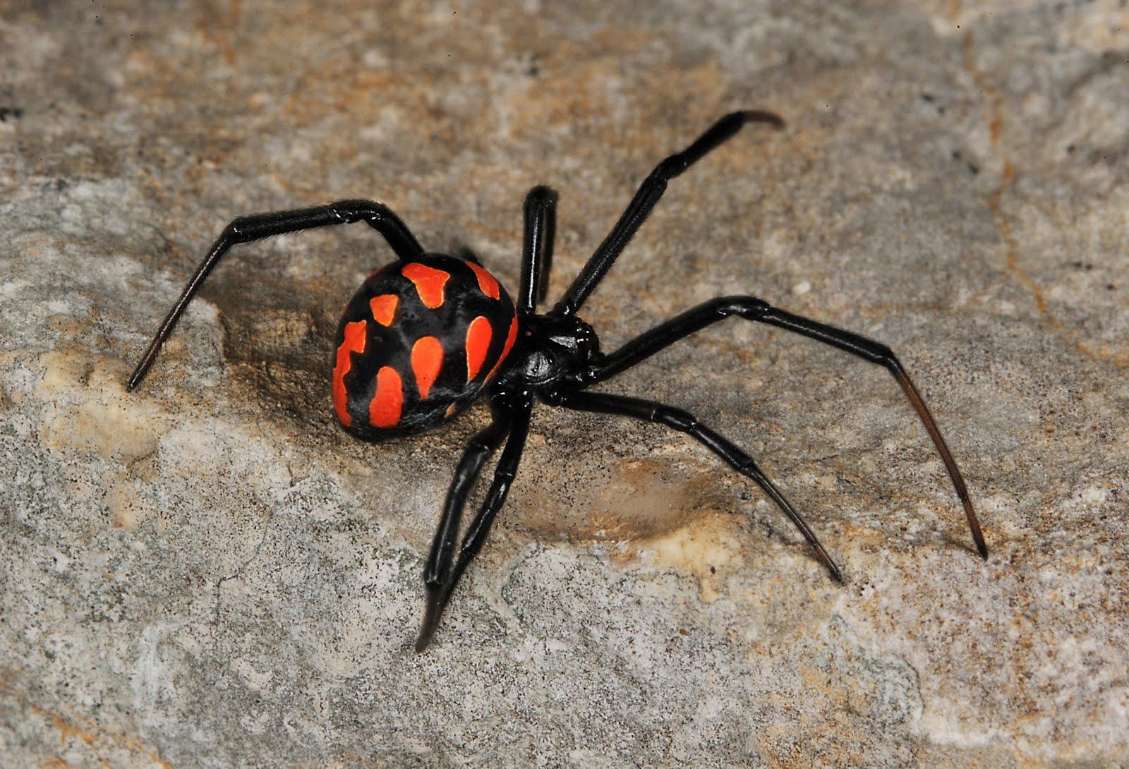 Las 5 arañas más venenosas de España y cómo identificarlas