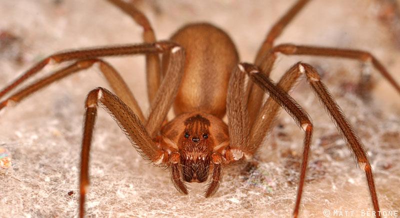 picadura de araña pollito