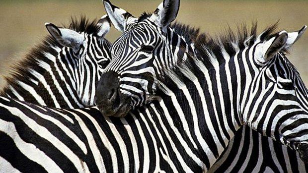Zebra O Cebra Yahoo Curiosidades so...