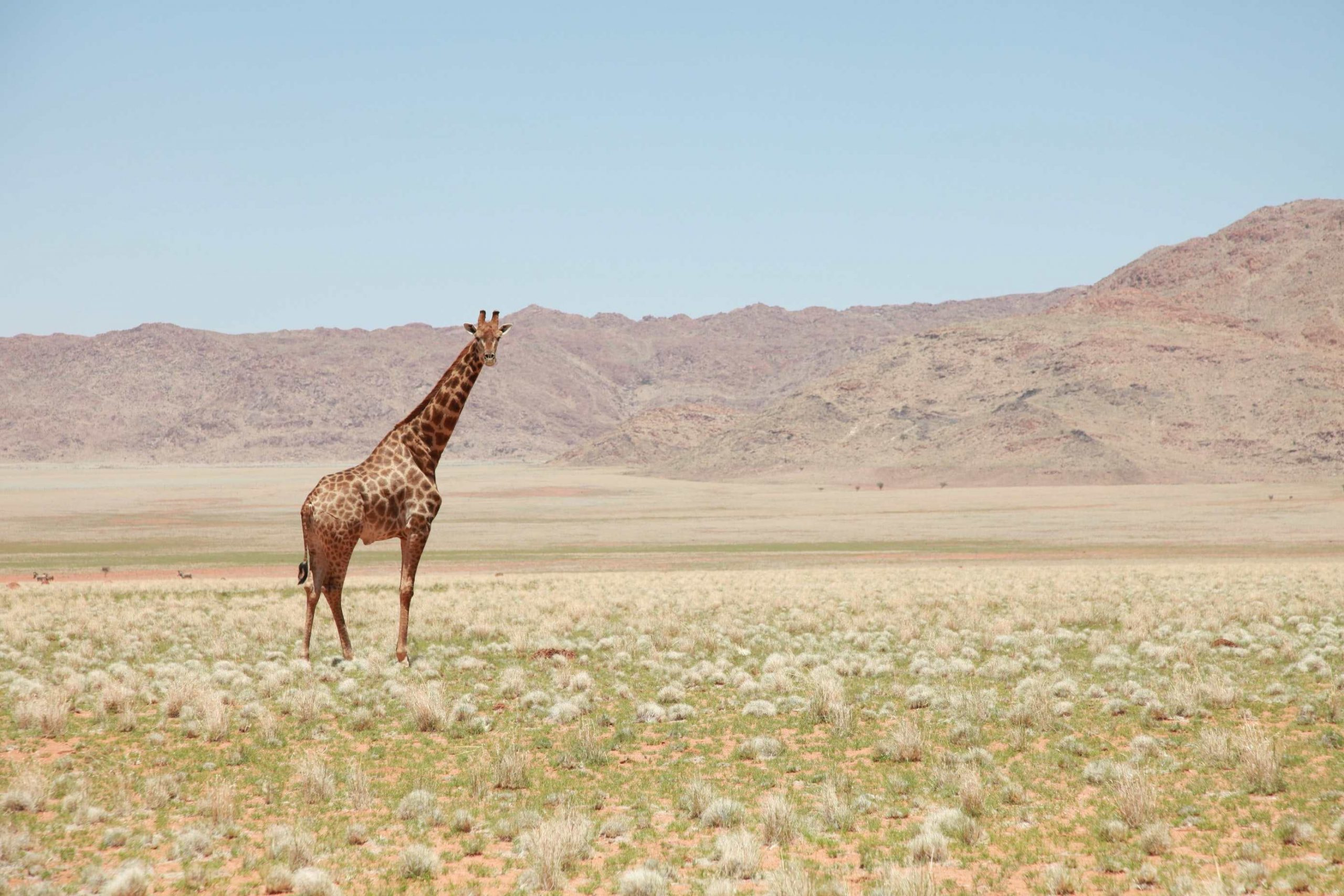 Todo lo que no sabes de las jirafas: dónde viven, cómo duermen…