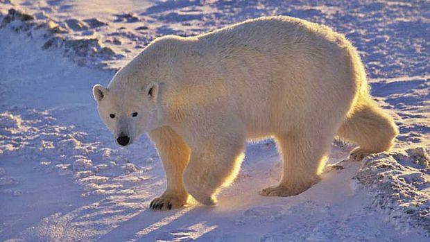 osos polares hielo artico a