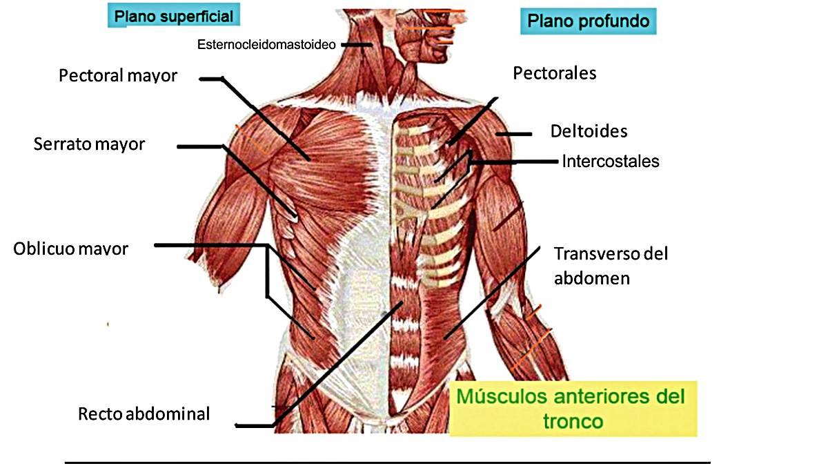 musculos que estan hechos a