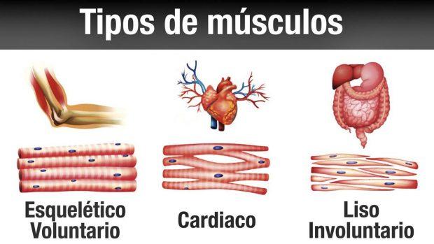 musculos tipos