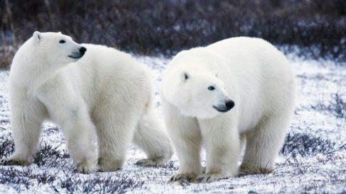 En los últimos años, los osos polares se han convertido en los principales representantes del cambio climático en la Tierra.