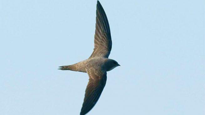 pájaro que pasa más tiempo volando