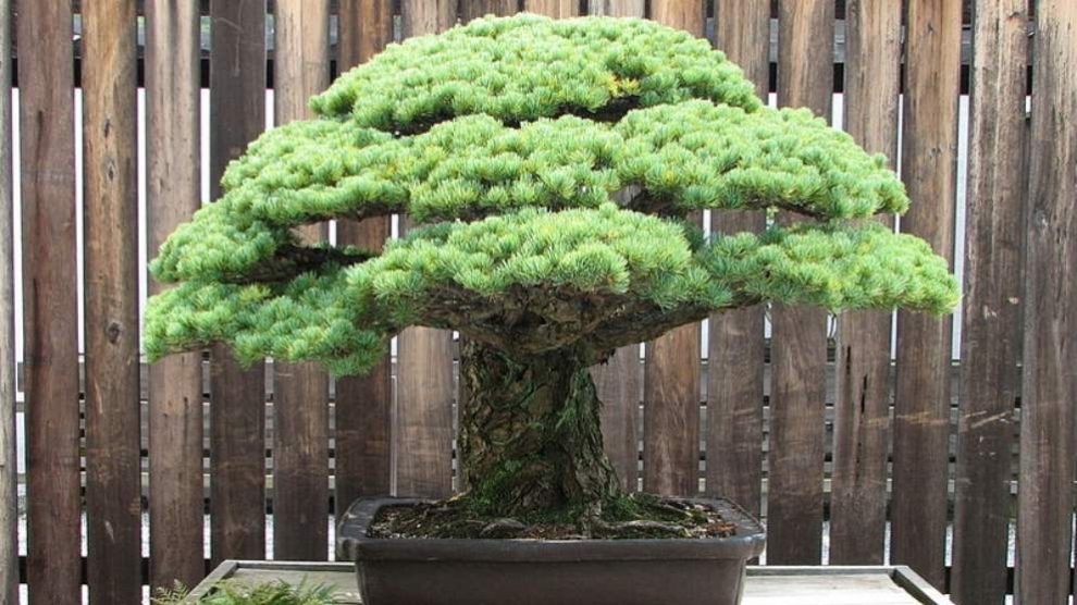 Conoce el bonsái que sobrevivió a Hiroshima