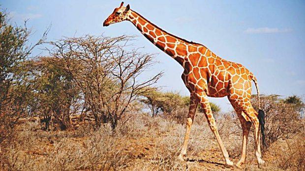 5 fascinantes curiosidades sobre las jirafas