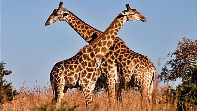 jirafas curiosidades animal b