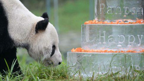 El oso panda Pan Pan durante la celebración de su último cumpleaños. Foto: Agencias