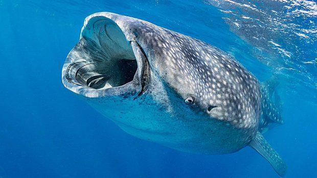tiburones mas grandes ballena