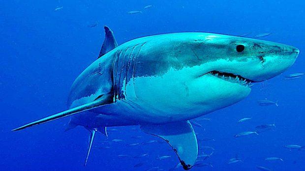 tiburones mas grandes blanco
