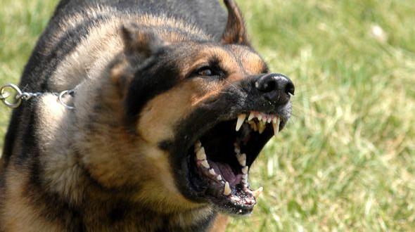 Perros peligrosos: Los 5 perros más agresivos del mundo