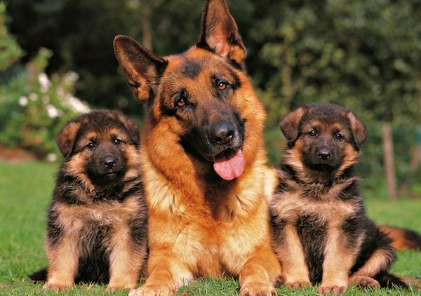 Perros peligrosos: Los 5 perros más agresivos del mundo - Pastor Alemán