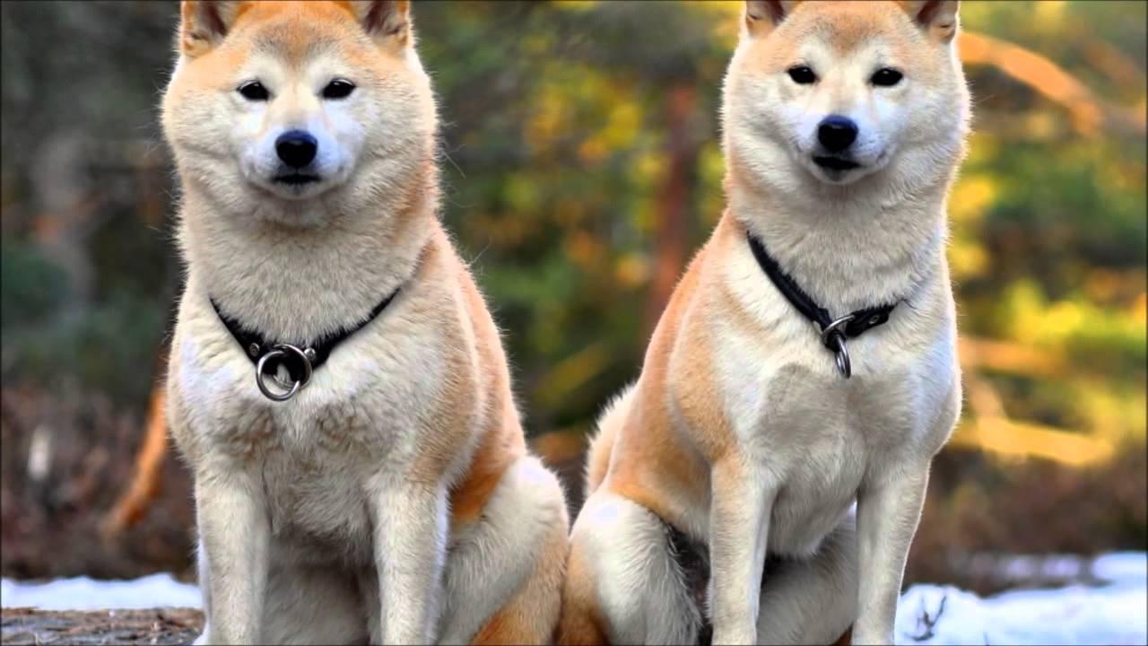 Perros peligrosos: Los 5 perros más agresivos del mundo - Akita Inu