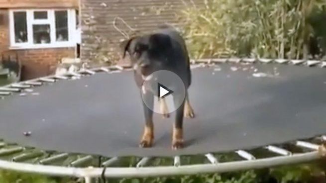 Un rottweiler sube a una cama elástica por primera vez y se vuelve loco