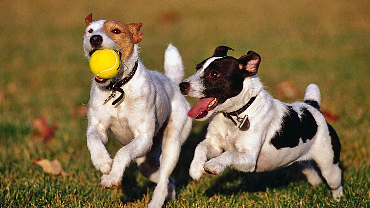 Cómo aplicar Advantix en perros
