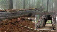 El árbol túnel de Yosemite, caído tras las tormentas que han azotado California.