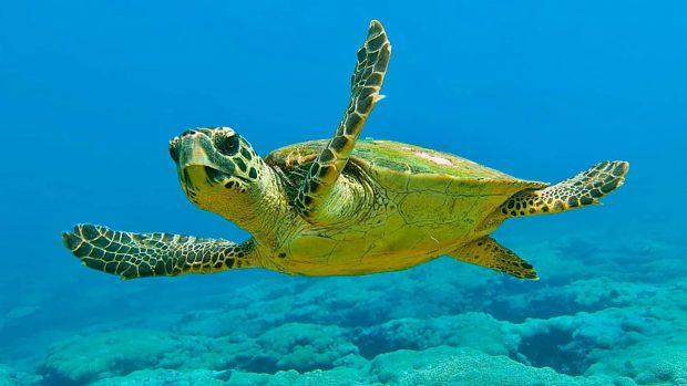 tortugas cabezona dan miedo