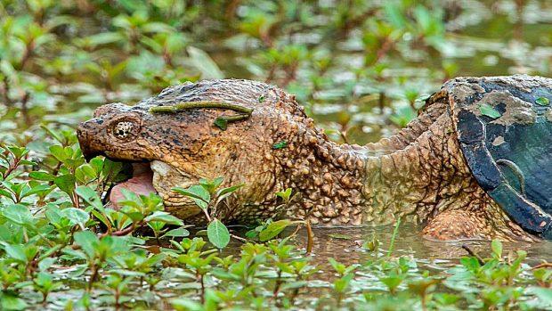 tortugas caiman dan miedo