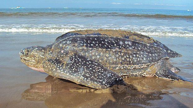 tortugas laud extrañas