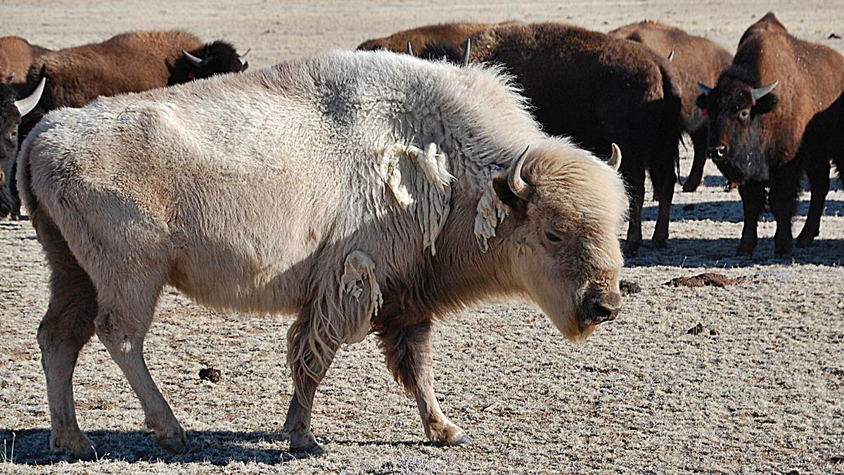 animales sagrados bufalo blanco