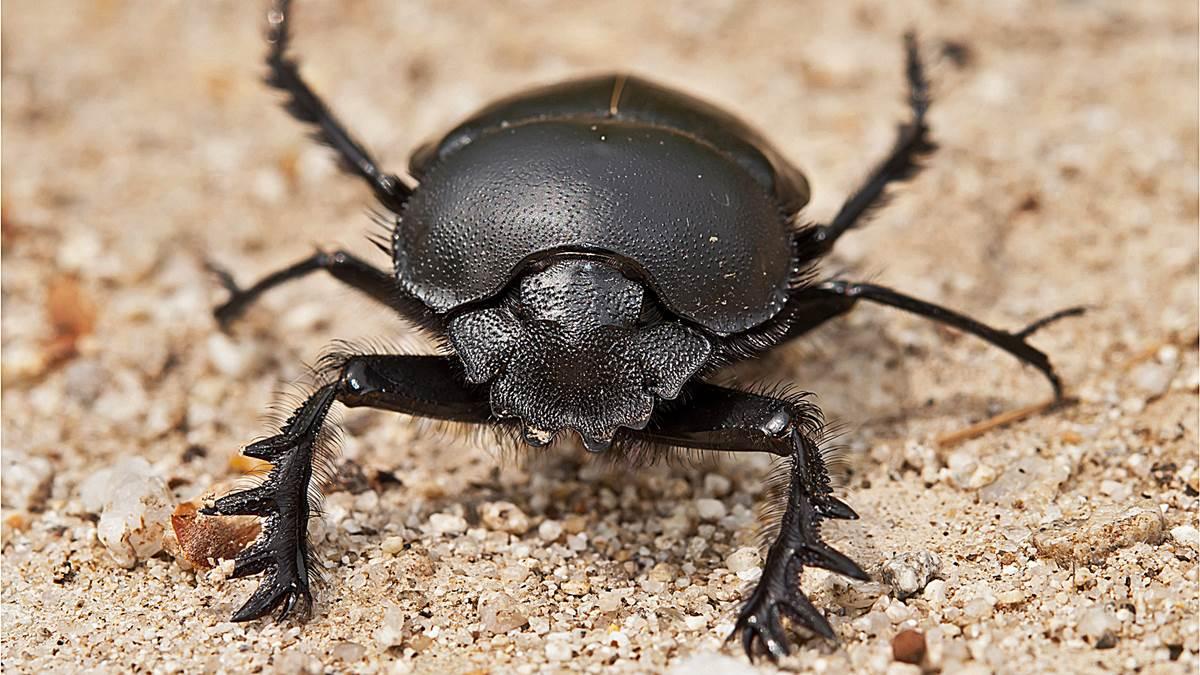 animales sagrados escarabajo