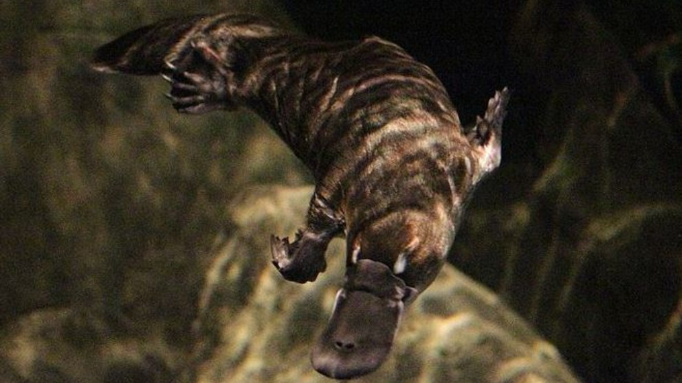 Se trata de animales mamíferos, algo extraños, que ofrecen aspecto de reptiles.