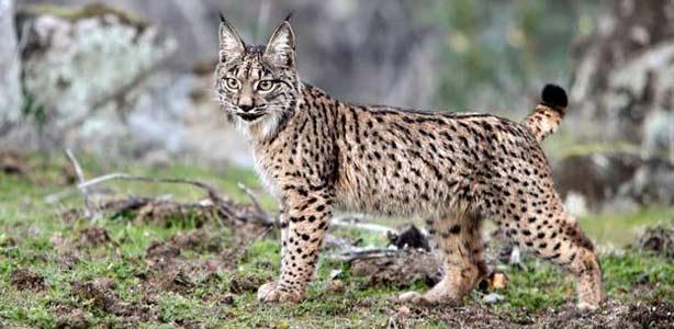 5 Animales En Peligro De Extinción Del Planeta