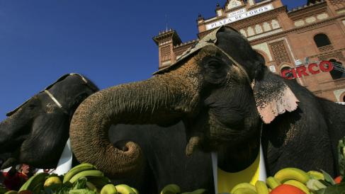 Elefantes en la Plaza de Toros de Las Ventas presentando el «Gran Circo Mundial» en 2006. (Foto: AFP)